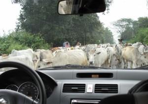 cow-traffic-jam