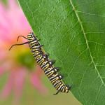 caterpillar-leaf