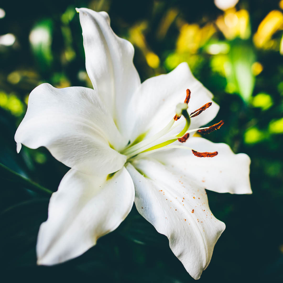Give Easter Lilies a Place to Bloom
